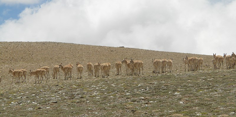 Wild Animals in West Tibet