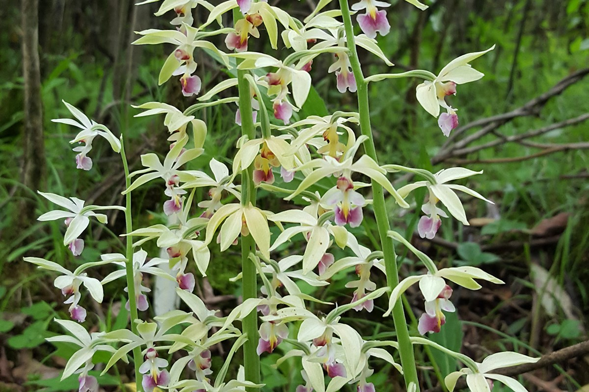 Calanthe Brevicornu | Photo by Zhang Yong